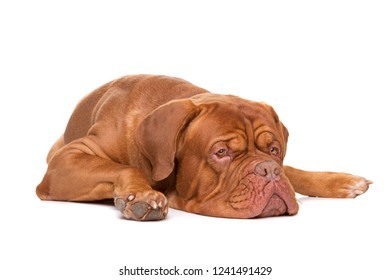 French Mastiff dog lying in front of a white background