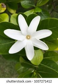 French Polynesia White Gardenia Tiaré Flower