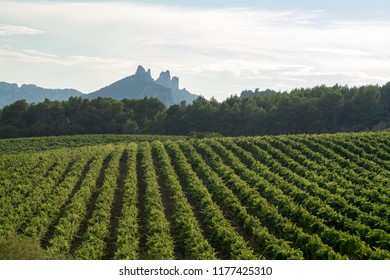 French red  AOC wine grapes plant, new harvest of wine grape in France, Vaucluse, Gigondas domain or chateau vineyard Dentelles de Montmirail landscape