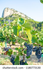 French red  AOC wine grapes plant, new harvest of wine grape in France, Vaucluse, Gigondas domain or chateau vineyard Dentelles de Montmirail close up
