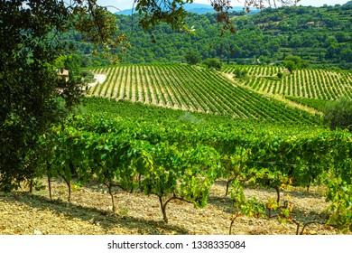 French red  AOC wine grapes plant, new harvest of wine grape in France, Vaucluse, Gigondas domain or chateau vineyard Dentelles de Montmirail landscape
