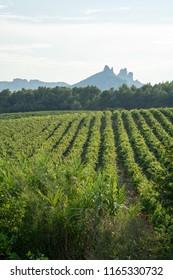 French red AOP wine wine grapes plant, new harvest of wine grape in France, Vaucluse, Gigondas domain or chateau vineyard Dentelles de Montmirail landscape