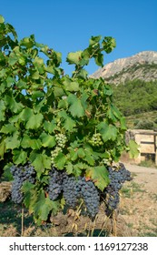 French red AOP wine grapes plant, new harvest of wine grape in France, Vaucluse, Gigondas domain or chateau vineyard Dentelles de Montmirail close up