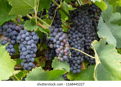 French red and rose wine grapes plant, first new harvest of ripe wine grape in France, Costieres de Nimes AOP domain or chateau vineyard close up