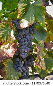 French red and rose wine grapes plant, first new harvest of wine grape in France on domain or chateau vineyard close up in sunny day