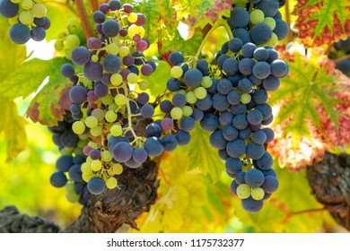 French red and rose wine grapes plant, growing on ochre mineral soil, new harvest of wine grape in France, Vaucluse Luberon AOP domain or chateau vineyard close up