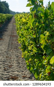 French red and rose wine grapes plantation, harvest of wine grape in France on domain or chateau vineyard close up n sunny day