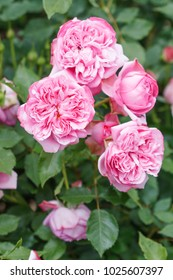 French rose - Pompadour rose