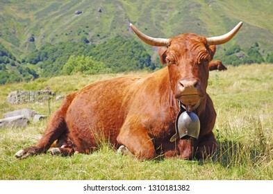 French Salers cow with bell, lying down in a field with mountains in background. Rural scene. Cantal, Auvergne, France