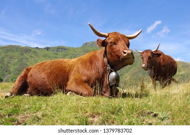 French Salers cow with bell lying down in a field with mountains in background. Cantal, Auvergne, France, Europe