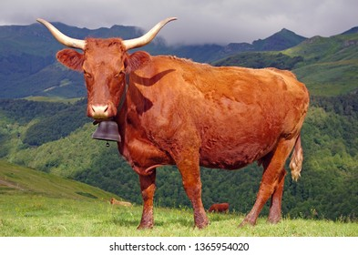 French Salers cow with bell and mountains in background. Cantal, auvergne, france, europe