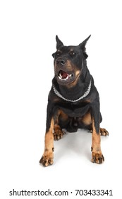 French shepherd dog shows grin, white background, front view. Beauceron, Berger de Beauce