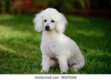 french white poodle sit on green grass in park