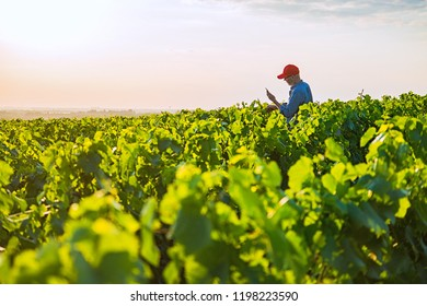 A French winegrower working in his vineyards at sunset. He is using a digital tablet.