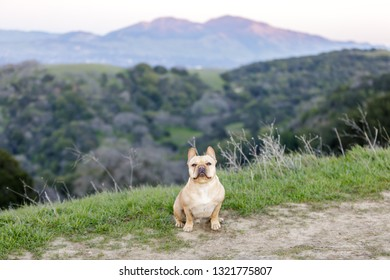 Frenchie sitting and looking at camera with Mt Diablo in the background. Briones Regional Park, Contra Costa County, California, USA.