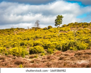 Frensham Common and Heath in Surrey, England UK. With yellow gorse and heather and a cloudy blue sky.