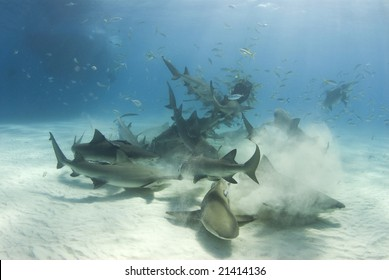A frenzy of sharks stir up the white bottom as they battle for their share of food