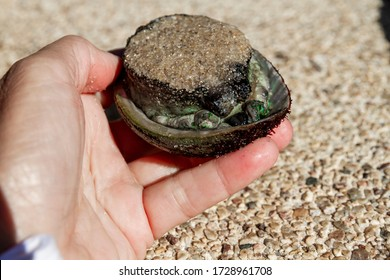 Fresh Abalone shellfish still in the shell.