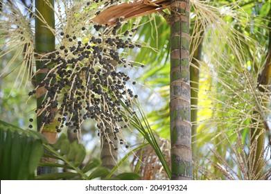 Fresh acai açaí berries palm fruit tree close-up