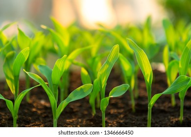 Fresh agriculture plant seeding growing  in garden