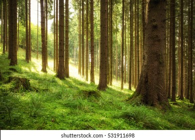 Fresh air in the coniferous forest