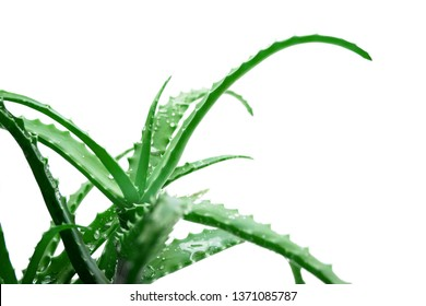 Fresh aloe vera leaves with water drops on white background