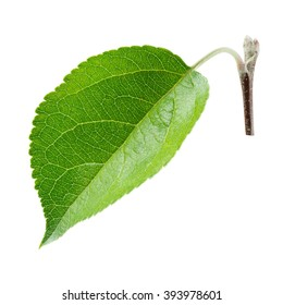 Fresh apple leaf isolated on white. With clipping path.