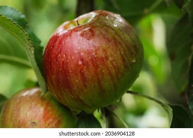 fresh apple in the tree