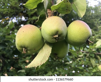Fresh apples growing on an apple tree in the garden in the golden light of the evening during summer in Germany
