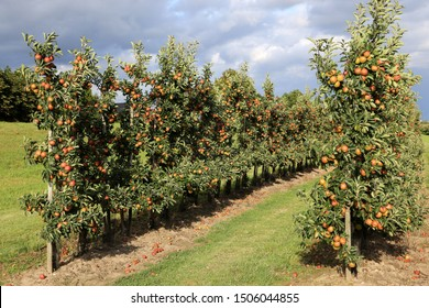 Fresh apples on apple trees in apple fruit tree plantation in Altes Land, Germany