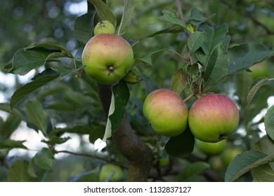 Fresh apples on tree