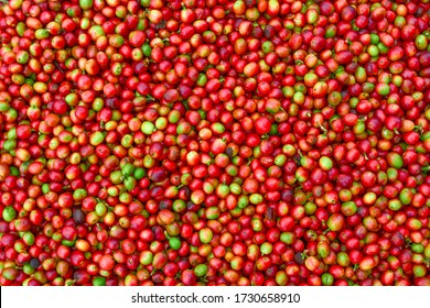 fresh arabica coffee after picking.  Arabica coffee beans.  red arabica coffee.  Indonesian Coffee.
