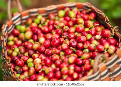 Fresh Arabica coffee berries in basket. Organic coffee farm on Bolaven Plateau, a coffee grower's utopia. Pakse, Laos. Rainy season. Close-up. Soft sunlight.