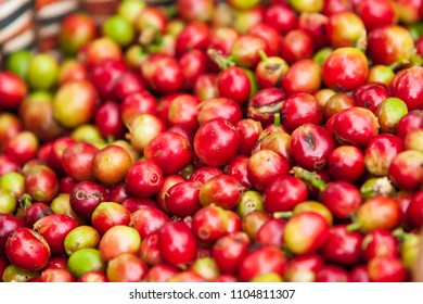 Fresh Arabica coffee berries in basket. Organic coffee farm on Bolaven Plateau, a coffee grower's utopia. Pakse, Laos. Close-up. Soft sunlight. Rainy season.