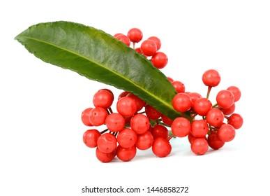 Fresh Ardisia crenata fruit isolated on white background