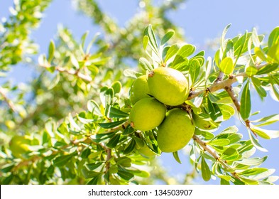 Fresh argan fruits on a branch