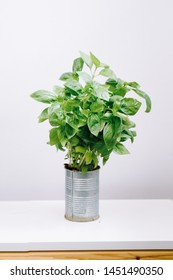 Fresh aromatic culinary herbs. Bunch of basil on a white background