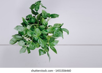 Fresh aromatic culinary herbs. Bunch of basil on a white background. Top view