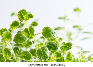 Fresh aromatic oregano plant on white background macro view. Aromatic herbs and spices concept.