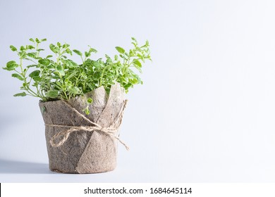Fresh aromatic oregano in a pot on white background with copy space for your design. Aromatic herbs, home gardening concept.