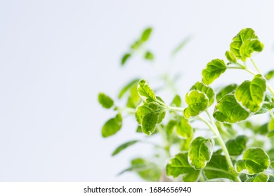 Fresh aromatic oregano twigs on white background with copy space for  your text. Aromatic herbs background.
