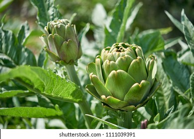 Fresh artichokes in garden, Vegetables for a healthy diet. Horticulture artichokes, close up shot of green artichokes growing in garden.