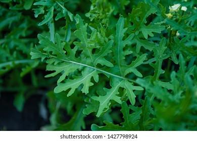 Fresh arugula. In the garden grows juicy green arugula.