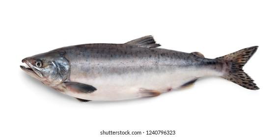 Fresh atlantic salmon fish isolated on white