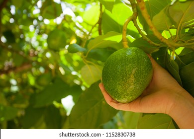 Fresh avocado fruit that is being grasped hand-picked.