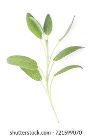 Fresh Baghdad Sage Isolated on White Background.