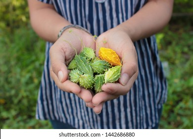 Fresh Balsam Apple on hand , Hand holding Balsam Apple with the background of the garden, Balsam  Pear, Bitter Cucumber, Bitter Gourd , Bitter  Melon or Carilla  Fruit