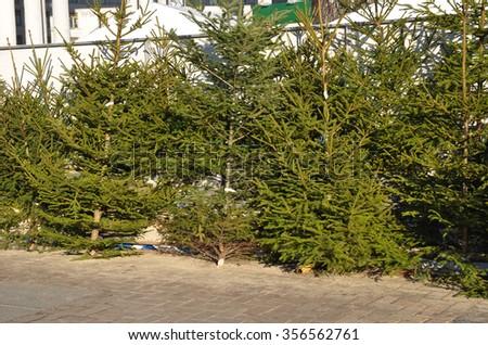 Fresh Balsam Fir Christmas Trees Sale Stock Photo Edit Now