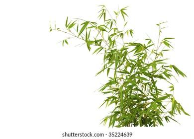 Fresh Bamboo bush isolated on white background