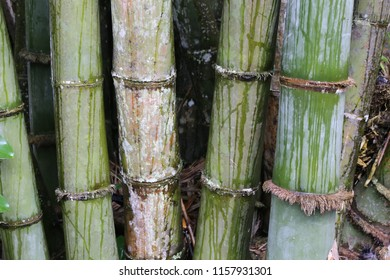 fresh bamboo tree